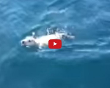 Lost at Sea and Swimming for His Life, With No Land In Sight, This Little Dog is Lucky to Be Alive!